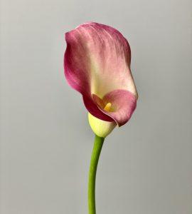 Калла – Интернет-магазин цветов STUDIO Flores