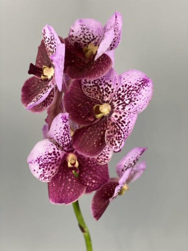 Орхидея Ванда – Интернет-магазин цветов STUDIO Flores