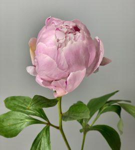 Пион розовый – Интернет-магазин цветов STUDIO Flores