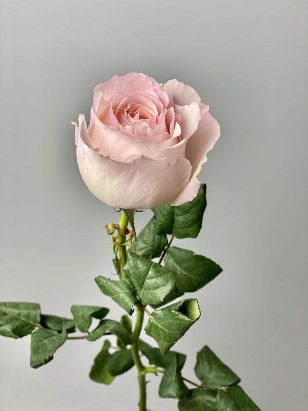 Пионовидная роза 'Кейра' – Интернет-магазин цветов STUDIO Flores