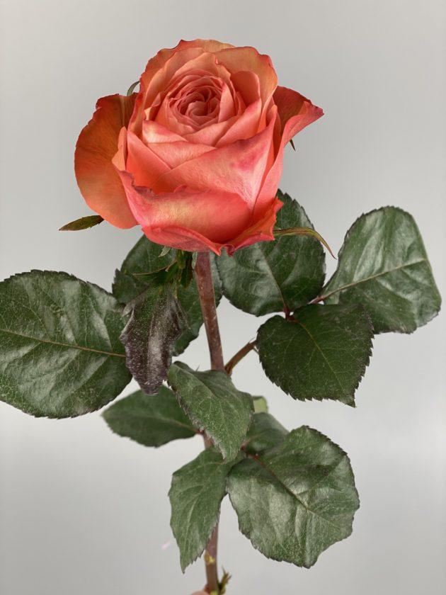 Роза Кахала – Интернет-магазин цветов STUDIO Flores
