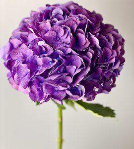 Гортензия фиолетовая – Интернет-магазин цветов STUDIO Flores