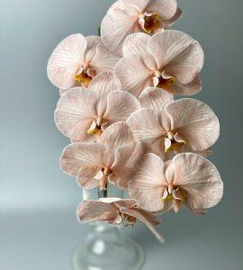 Королевский фаленопсис – Интернет-магазин цветов STUDIO Flores