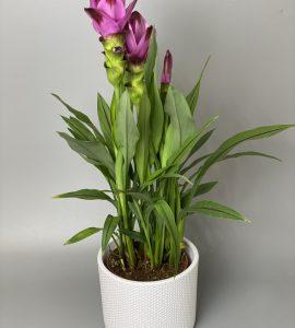 Куркума – Интернет-магазин цветов STUDIO Flores