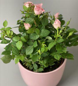 Роза Форевер – Интернет-магазин цветов STUDIO Flores