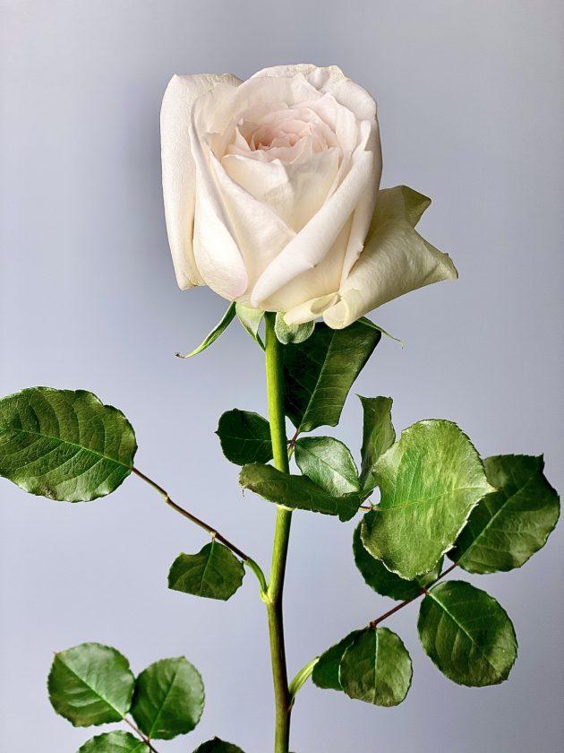 Роза Вайт О'Хара – Интернет-магазин цветов STUDIO Flores