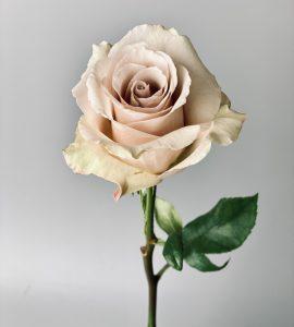 Роза Квиксанд – Интернет-магазин цветов STUDIO Flores