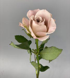 Rose Menta – Flower shop STUDIO Flores
