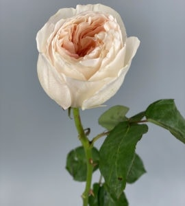Піоновідна троянда 'Джульєтта' – Інтернет-магазин квітів STUDIO Flores