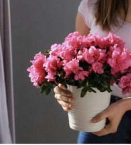 Азалия комнатное растение